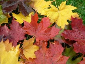 autumn-maple-leaves-725x544